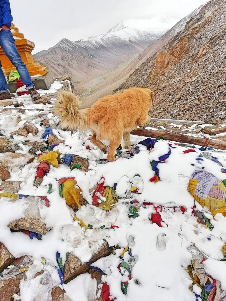 A dog at Khardungla Pass